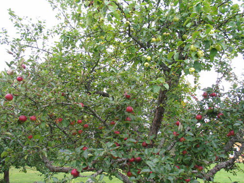 ympat äppelträd