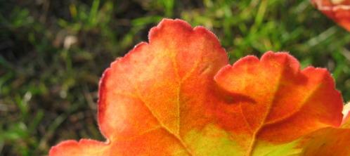 pelargonblad