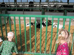 barnen ser på kalvarna