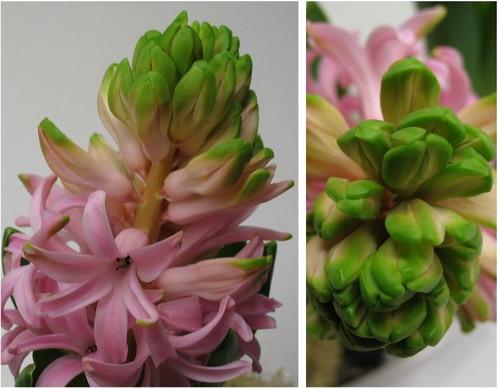 rosa hyacint