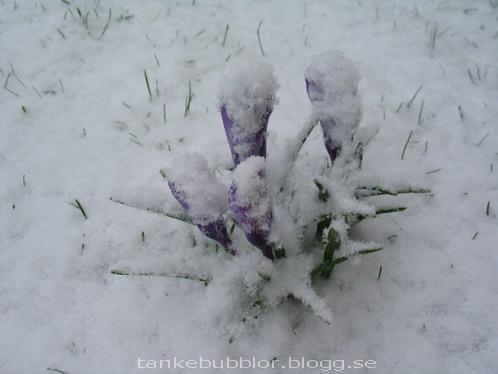 snö krokus