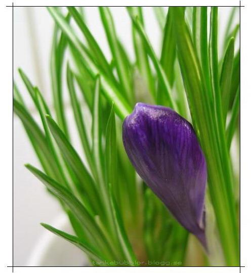 nillas lila krokus