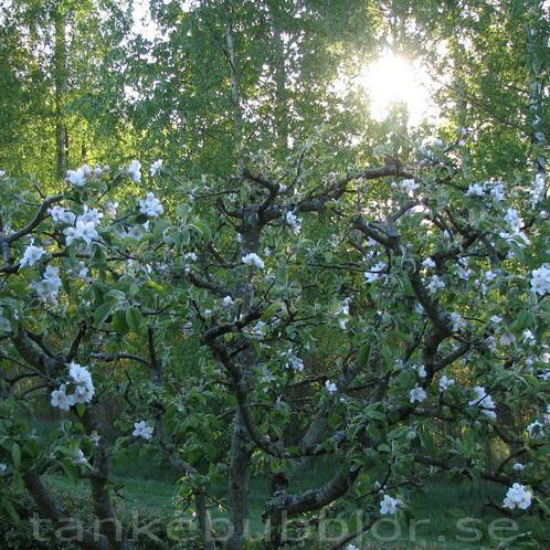 norra äppelträdet