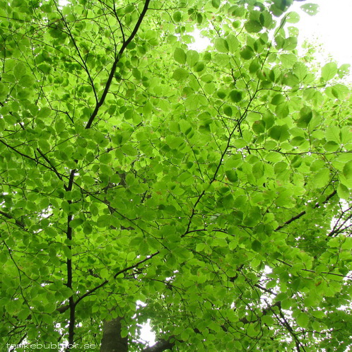 ljusgröna boklöv
