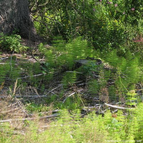 åkerfräken rävarumpor