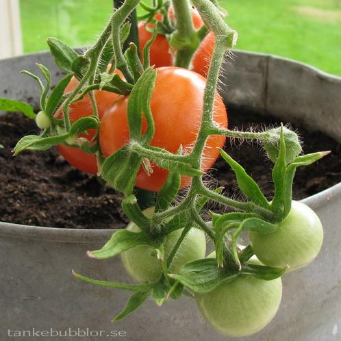 tomater tomatplanta