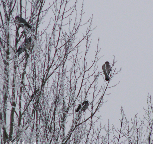 frost och fåglar