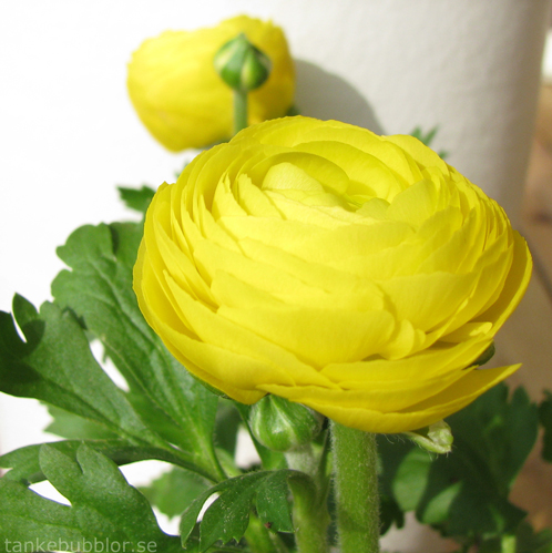 ranunkel blomma