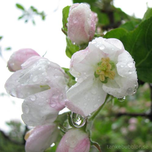 äppelblomma