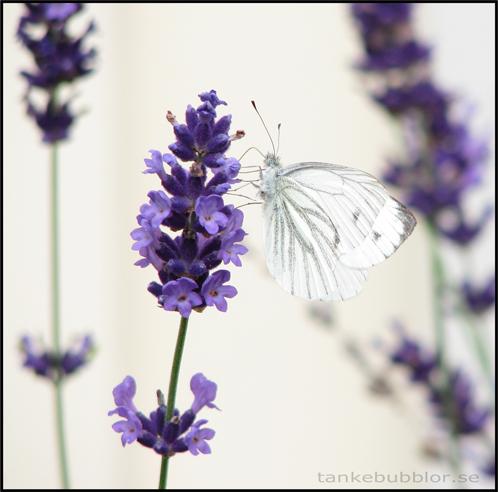 fjäril och lavendel