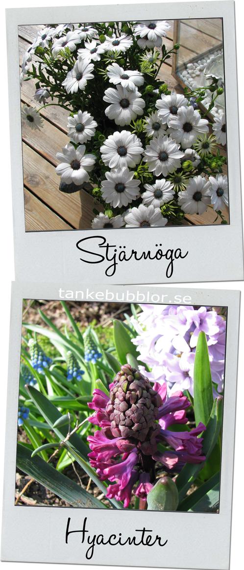 stjärnöga och hyacinter