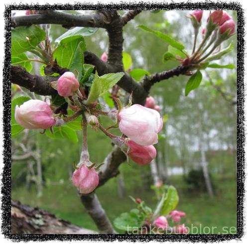 äppelblommor