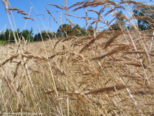 gult gräs