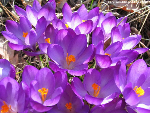 lila krokusar